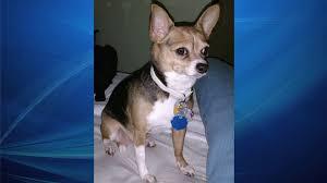 100 Where Is Chihuahua Located Good Samaritan Locates Missing St Petersburg Dog WFLA