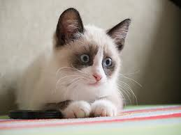 snowshoe cat snowshoe cat breed information pictures characteristics facts