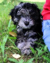 Do F2 Cockapoos Shed by 68 Best Coocoo For A Poos Images On Pinterest Cockapoo