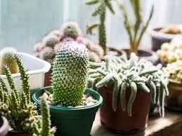 so bringen sie ihren kaktus zum blühen