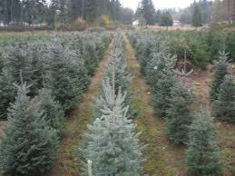 Santa Cruz Christmas Tree Farms by 5 Christmas Tree Farms In Pierce County Southsoundtalk