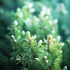 Xmas Tree Waterer by Caring For Christmas Trees Pines And Needles