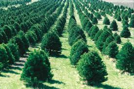 Christmas Trees Types by List Of Evergreen Christmas Tree Types Christmas Gifts U0026 Trees