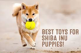 Do Shibas Shed A Lot by Shiba Inu Grooming My First Shiba Inu