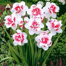 aliexpress buy 100pcs flower daffodil daffodil seeds not
