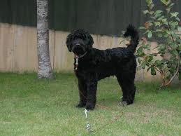Non Shed Dog Breeds Large by Murphy Large Black Male Cockapoo Non Shedding Newton Abbot