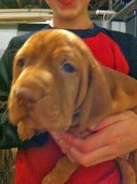 Do Vizsla Dogs Shed by Nova Running Club Vizsla Puppies For Sale