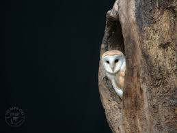 Barn Owl Hollow Tree Wallpaper [Melanie Lindenthal] - The Barn Owl ... Barn Owl Perching On A Tree Stump Facing Forward Stock Photo The Owls Of Australia Australian Geographic Audubon Field Guide Beautiful Perched 275234486 Barred Owl Vs Barn Hollybeth Organics Luxury Skin Care Why You Want Buddies Coast News Group Sleeping By Day Picture And Sitting Venezuela 77669470 Shutterstock Rescue Building Awareness Providing Escapes And Photography Owls Owlets At Charlecote Park Barnaby The Ohio Wildlife Center