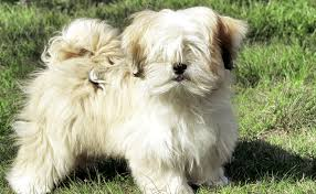 My Lhasa Apso Is Shedding Hair by Lhasa Apso Burke U0027s Backyard