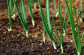 planting onions or fall