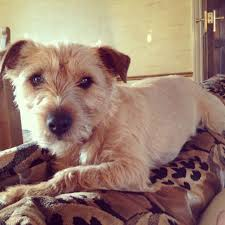 Border Terrier Non Shedding by Adorable Norfolk X Border Terrier 19 Year Old 51c1f7951c5c4 Jpg