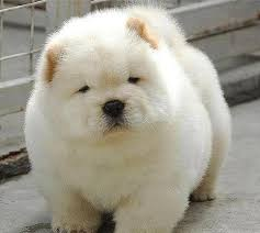 Do Samoyed Dogs Shed Hair by 9 Dogs That Look Like Polar Bear Cubs To Cool You Down With Arctic