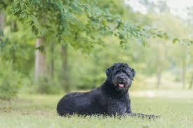 Do Redbone Coonhounds Shed by Bouvier Des Flandres Dog Breed Profile