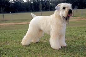 soft coated wheaten terrier dog breed information wheaten