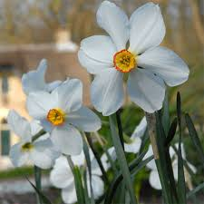 10 of the best daffodil bulbs to plant this fall birds and blooms