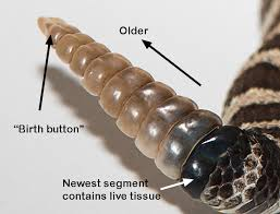 rattle growth shedding estimating age eync rattlesnake study