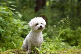 Hypoallergenic Shed Free Dogs by 7 Best Hypoallergenic Dogs Choosing The Right Dog For You Dogs