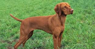 do vizsla dogs shed about vizslas as an assistance breed