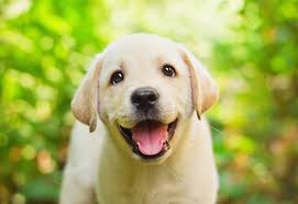 Low Shedding Big Dogs by Top 3 Food Choices For Your Lab Puppy 2017 Buyer U0027s Guide