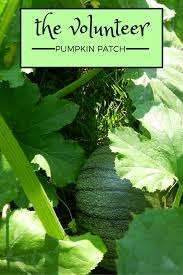 Keep Pumpkins From Rotting On Vine by The Volunteer Pumpkin Patch Gardening Know How U0027s Blog