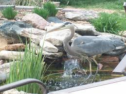 Wildlife In My Backyard | FOX31 Denver Diy Backyard Fishing Activity 3br House Boating Or From The Naplesflorida Landscaping Vancouver Washington Complete With Large Verpatio Six Mile Lakemccrae Lake July 1017 15 Youtube Pond Outdoor Goods Nick Wondo In Spin More Poi Bed Scanners Patio Heater Flame Tube Its Koi Vs Heron Chicago Police Officer In Epic Can Survive A Minnesota Winter The 25 Trending Ponds Ideas On Pinterest Ponds Category Arizona Game And Fish Flagstaff Stem City