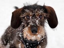 German Shorthaired Pointer Shedding by Animalhospitalcs Com