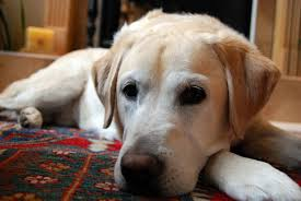 Big Dogs That Shed The Least by Labrador Retriever Wikipedia