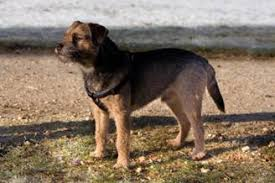 Border Terrier Non Shedding by Hypoallergenic Dogs List Of Hypoallergenic Dog Breeds