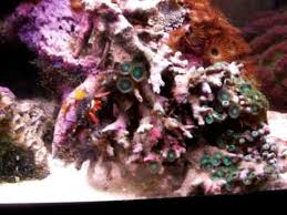 Halloween Hermit Crab Care by Halloween Hermit Crab In Reef Tank Youtube