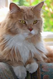 haired cats 2159 best katten images on animals cats and kitty cats