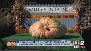 Atlantic Giant Pumpkin Growing Tips by Giant Pumpkin On Display At Valley View Farms Youtube