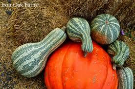 Connecticut Field Pumpkin by Iron Oak Farm Pumpkins Squashes And Gourds