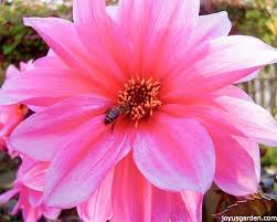 Attracting Insects To Your Garden by How To Attract Beneficial Insects To Your Garden
