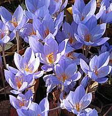 colchicum or autumn crocus how and where to grow
