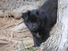 Pin by jrachelle on ❤ Shelties Shetland Sheepdogs Pinterest