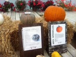 Cinderella Pumpkin Seeds Australia by A Rogues Gallery Of Pumpkins Look Local Oakville And Burlington
