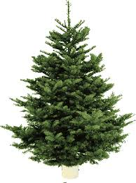 Plantable Christmas Trees Columbus Ohio by Costco Limited Time 7 8 Ft Noble Fir Christmas Trees 39 99