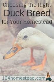 132 Best Raising Ducks Images On Pinterest   Backyard Chickens ... 6 Easy Tips For Duck Brooding Success Community Chickens For Making Maximum Profits From Duck Farming Business You Have To Types Of Ducks Eggs Meat And Pest Control Countryside Network Best Breeds Pets Egg Production Hgtv Your Winter Coop Keeping In Cold Weather Coop 12 Things You Should Know About Raising Ducks Or Chickens Ten Reasons Choose 132 Best Images On Pinterest Backyard What Eat And How To Care Them