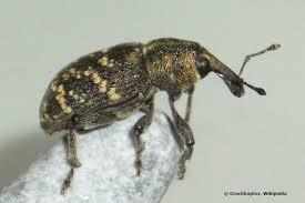 kleine braune käfer im zimmer haus was tun
