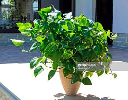 rarität goldene efeutute zimmerpflanze hängend als