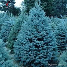 2018 True Colorado Blue Spruce Tree Seeds Picea Pungens Bonsai Rare Outdoor Plant Christmas Bag From Yijiaseeds 885
