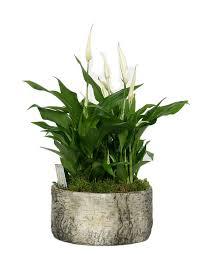 plante de bureau plantes de bureau florastore