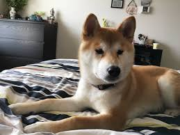 Do Shibas Shed A Lot by Tear Stains Watery Eyes On Shiba Puppy The Nihon Ken Forum