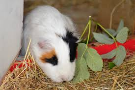 Can Guinea Pigs Eat Pumpkin Seeds by Meet The Animals Marsh Farm