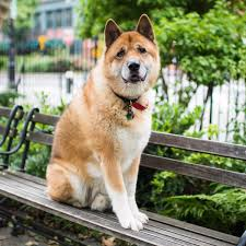 Do Shiba Dogs Shed by The Top 7 Dog Breeds Who Shed The Most
