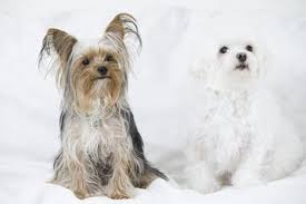 Morkies Do They Shed by Morkie Puppies Lovetoknow