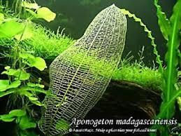 madagascar lace plant bulb seed live aquarium plant fish tank