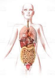 interieur corps humain femme photo de femme corps avec les organes à lintérieur anatomie image