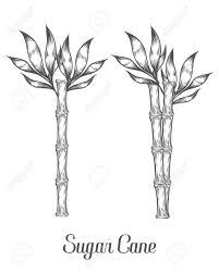 Sugar Cane Stem Branch And Leaf Vector Hand Drawn Illustration Sugarcane Black On White Background