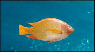 Hawaiian Gold Tilapia Oreochromis Mossambicus Can Exceed 16 Inches In Length As An Adult And Grows Really Fast The Is Known To